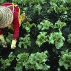 Leafy vegetables like lettuce and herbs generally require little fertilizer.