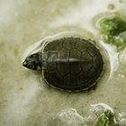 Cómo decorar un acuario de tortuga