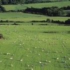 Como curtir suas próprias peles de ovelha