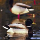 How to Build Floating Duck Feeders