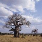 How to Grow a Baobab Tree