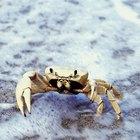 Como criar um tanque de caranguejo