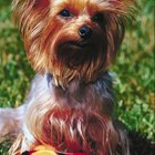 How to Get a Yorkie to Go From Potty Pads to Outside Permanently