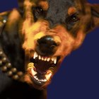 Growling Behavior in Dobermans