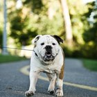 Cómo enseñarle a un cachorro a caminar con la correa