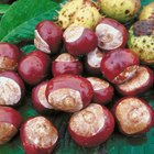 Horse Chestnuts As a Spider Repellent