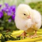 Cómo preparar alimento de iniciación para pollos