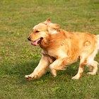 Señales de agua en los pulmones de los perros