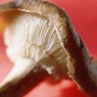 Cómo cultivar Ganoderma Lucidum