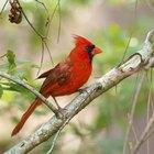 Cómo construir una pajarera para cardenales