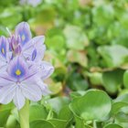 Care of a water hyacinth