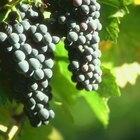 Como adoçar uvas