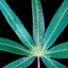 Cómo crece la raíz de yuca