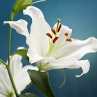How Long for Lilies to Sprout When Planted?