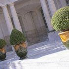 Place topiary trees in decorative containers.