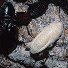 Uso de trementina como repelente de larvas