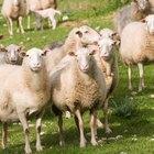 Cómo construir una barra o comedero para ovejas