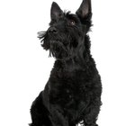 The History of Scottie Dogs