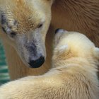 What Are Some Abiotic and Biotic Features of Polar Bear Habitats?