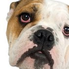 How to Care for an English Bulldog's Eyes