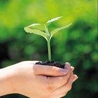 ¿Qué sucede si la hoja de una planta no obtiene sol?