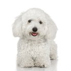 How to Remove Brown Stains From the Eyes of a Bichon Frise