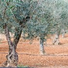 How can I save some dying olive trees?