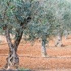 ¿Los olivos necesitan la polinización cruzada?