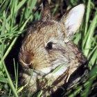 Qué utilizar para repeler a los conejos