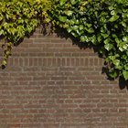 Types of ivy plants for fence covers