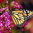 Como as borboletas se acasalam?