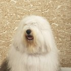 Dog Allergy Sufferers and Old English Sheepdogs
