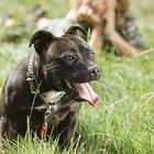 Staffordshire Bull Terrier Vs. Pit Bull