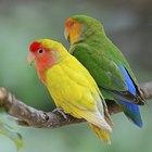 How to Stop Biting in Lovebirds