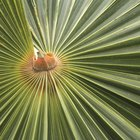 How to care for outdoor palm trees