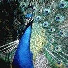 Información acerca de un pavo real para un niño ede jardín de infantes