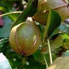 cultivation of fruits of passion, granadilla