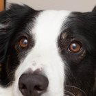 Tratamento natural para a catarata canina