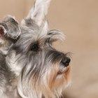 Como tratar o ressecamento de nariz dos cães