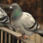 Remedios caseros: cómo deshacerse de las palomas