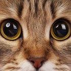 As 10 raças de gato mais amigáveis