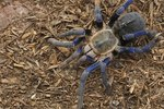 What Spiders Have Blue Markings?