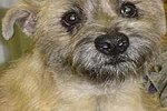 How to Care for a Cairn Terrier