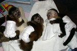 How to Find Capuchin Monkeys For Sale