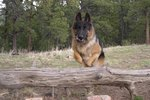 How to Train a German Shepherd to Be a Guard Dog