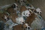 How to Find an English Bulldog Puppy For Sale without getting Scammed