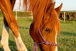 How to Treat Irritable Bowel Syndrome in Horses