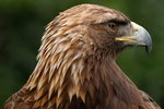 Predators of the Golden Eagle