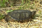 How to Raise a Baby Alligator Snapping Turtle