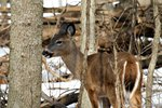 Do Whitetail Deer Lose Their Antlers Every Year?